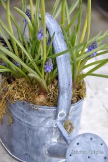 Décoration extérieur , fleurs de Muscaris
